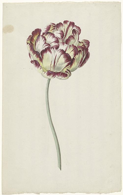 Tulip, Rijksmuseum Amsterdam